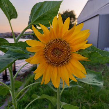 ラフ畑の向日葵が咲きました✨